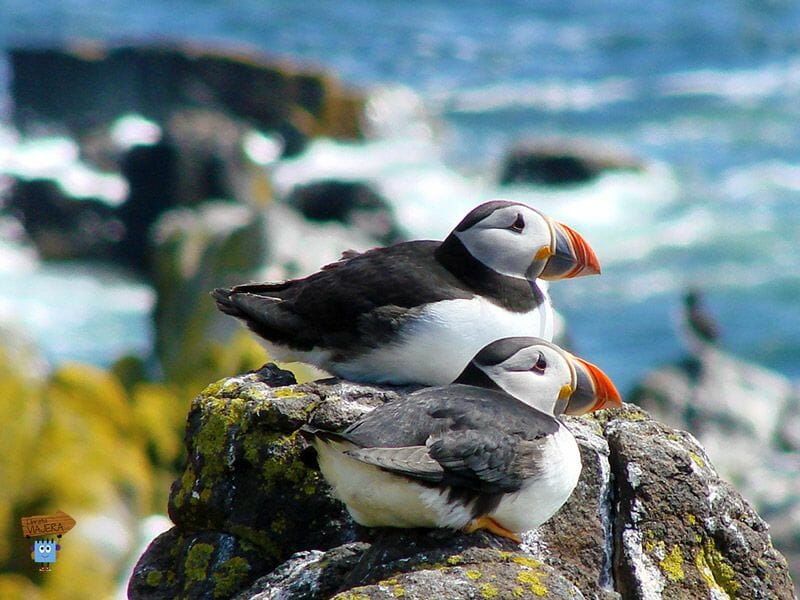 La Isla de May - Guia de Escocia Notas en mi libreta viajera