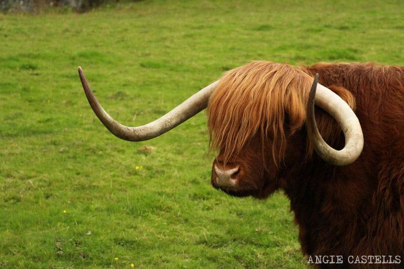 Ruta por las Highlands de Escocia vaca peluda