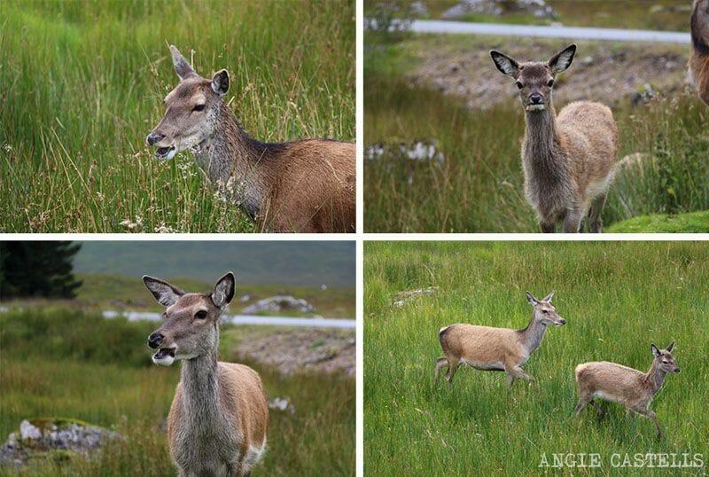 Visitar valle de Glencoe Highlands de Escocia Ciervos