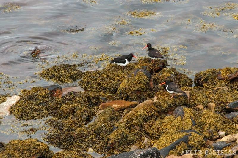 Que ver Orkney Islas Orcadas Aves