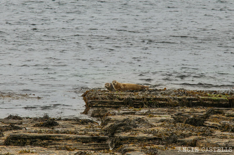 Que ver Orkney Islas Orcadas Focas Rousay