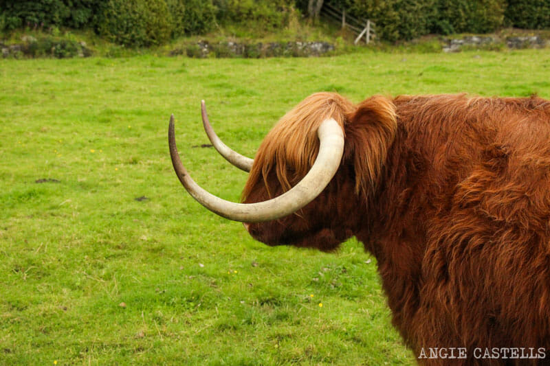 Turismo-responsable-Escocia-Highland-Cow-Vaca-Tierras-Altas